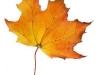 maple-leaf_resize